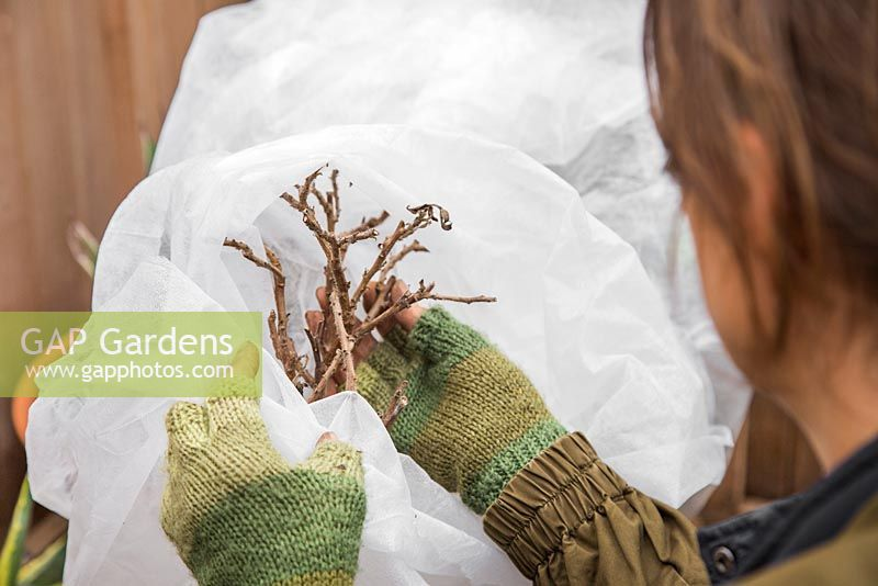 Woman checking on a plant wrapped in fleece, protected from the winter frost