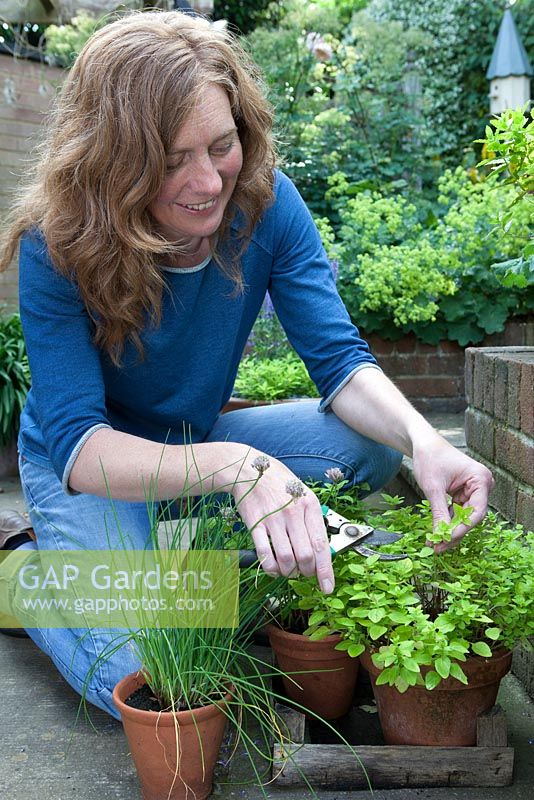 Lady cutting herbs from pots grown on patio, oregano