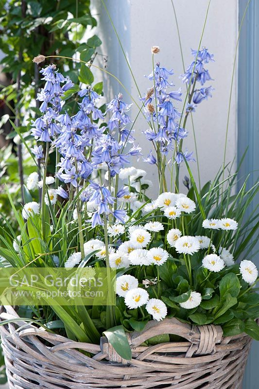 Basket with Scilla hyacinthoides, Bellis and grasses