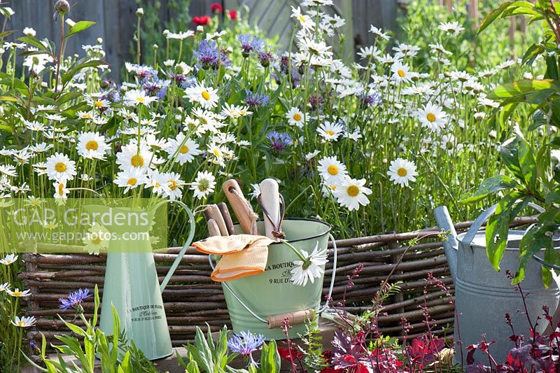 Leucanthemum vulgare - daisies and Centaurea montana - cornflowers behind mini-wattle fence of hazel rods, bucket with hand tools
