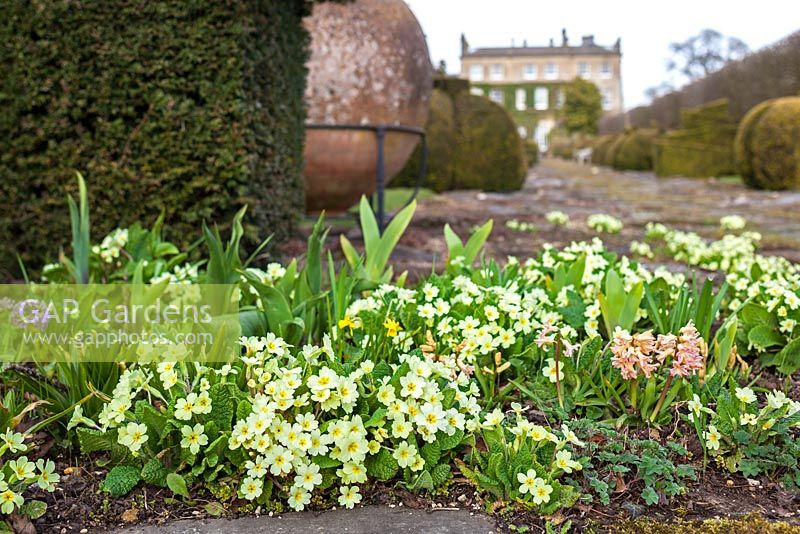Highgrove Garden in Spring, April 2013. Primroses by the Thyme walk