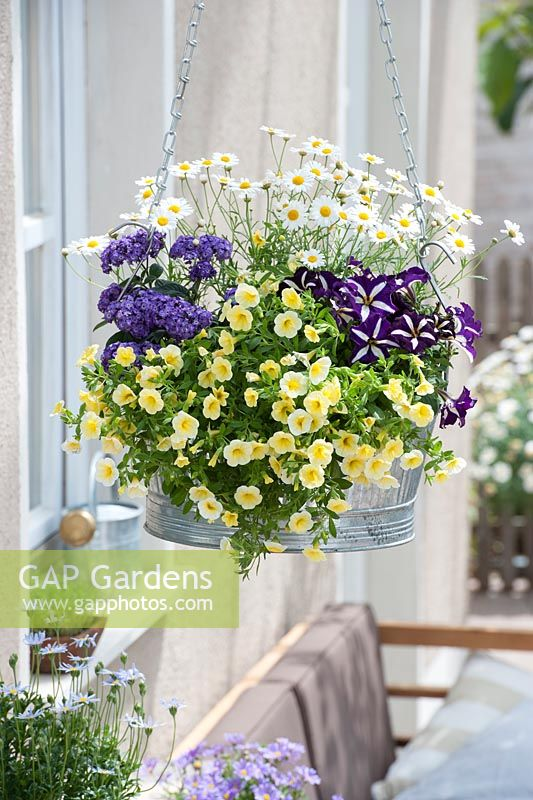 Metal hanging container with Calibrachoa Superbells 'Yellow Chiffon', Argyranthemum, Heliotropium and Petunia Crazytunia 'Starlight Blue'