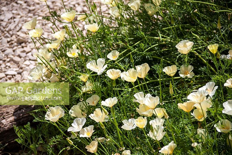 Eschscholzia californica 'Alba' - Californian poppy