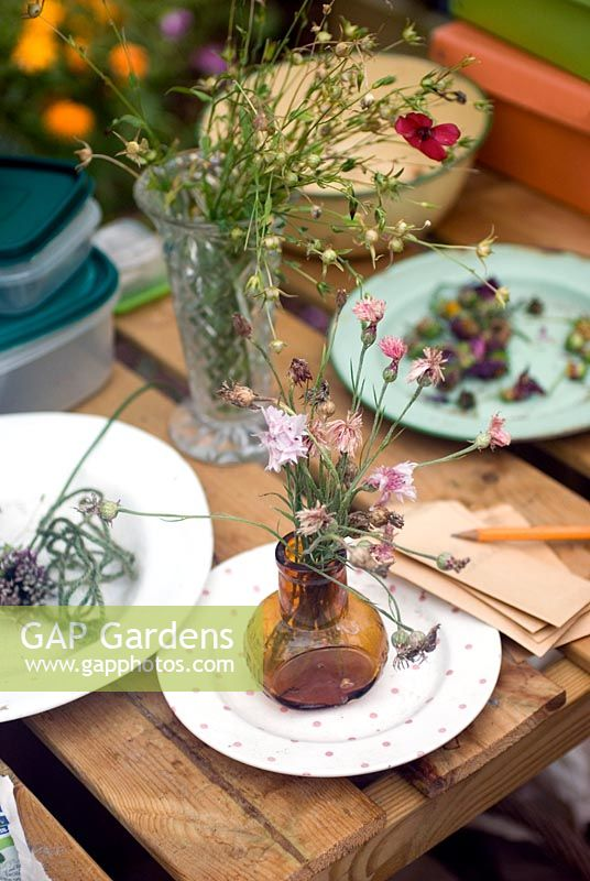 Drying seed heads on greenhouse bench - saving seeds from your garden