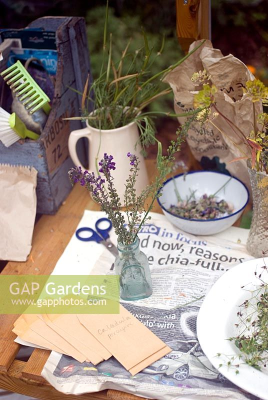 Drying linaria seed heads on greenhouse bench - saving seeds from your garden