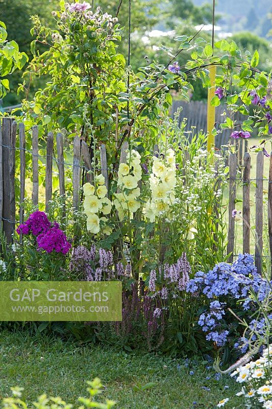 Border in front of wooden fence in cottage garden with Alcea rugosa - hollyhock, Phlox paniculata, Stachys, Erigeron annuus and Salvia nemorosa sage