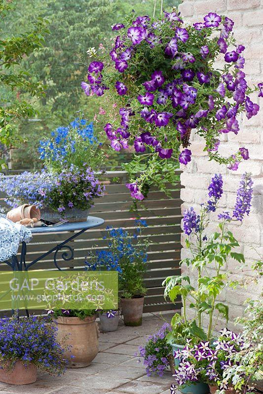 GAP Gardens - Container display with Petunia \'Sanguna Radiant Blue ...