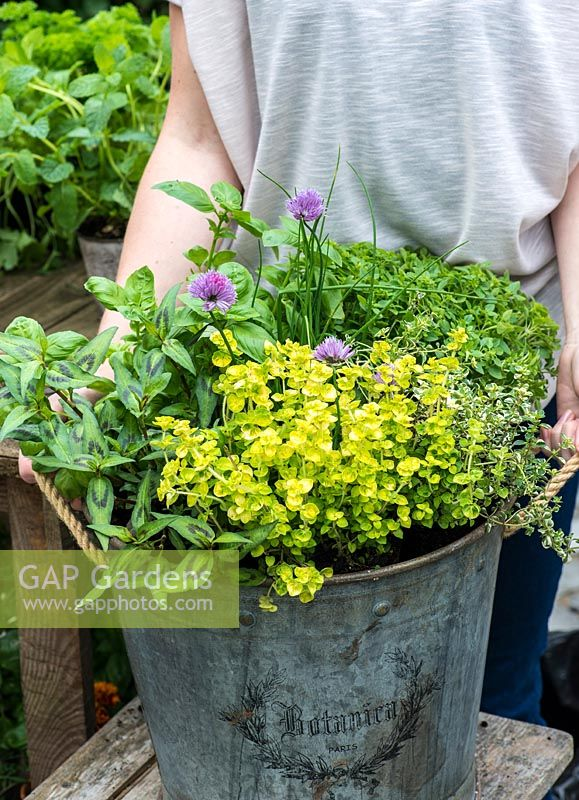 Planting a container herb garden step by step with basil, golden curly oregano, variegated thyme, curly parsley, chives and Vietmanese coriander.