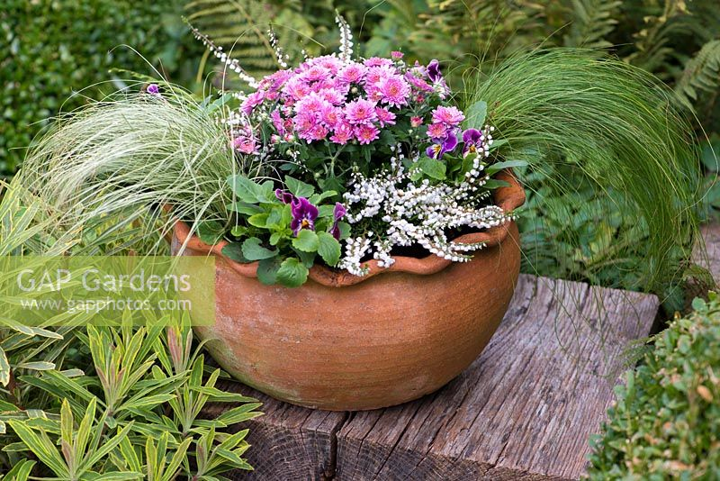 Planting late summer pot step by step. A late summer container with pot Chrysanthemums, white winter heather, violas and Stipa tenuissima grasses.