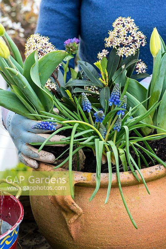 Step by step planting a spring container for Easter. Plant the Muscari, Bellis and Narssisus around the Skimmia.