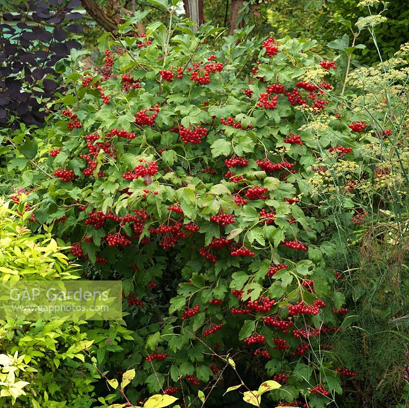 Viburnum opulus, Guelder rose, a vigorous deciduous shrub with white lacecap flowers from late spring, followed by bunches of small, bright red berries. Green leaves turn red in autumn.