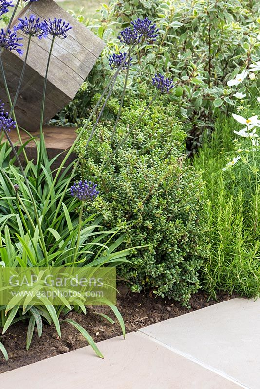 Border planting of Agapanthus 'Northern Star', Rosmarinus officinalis and Ilex crenata, beside a stone path. Garden: One Hundred Years From Now. RHS Hampton Court Flower Show, July 2014