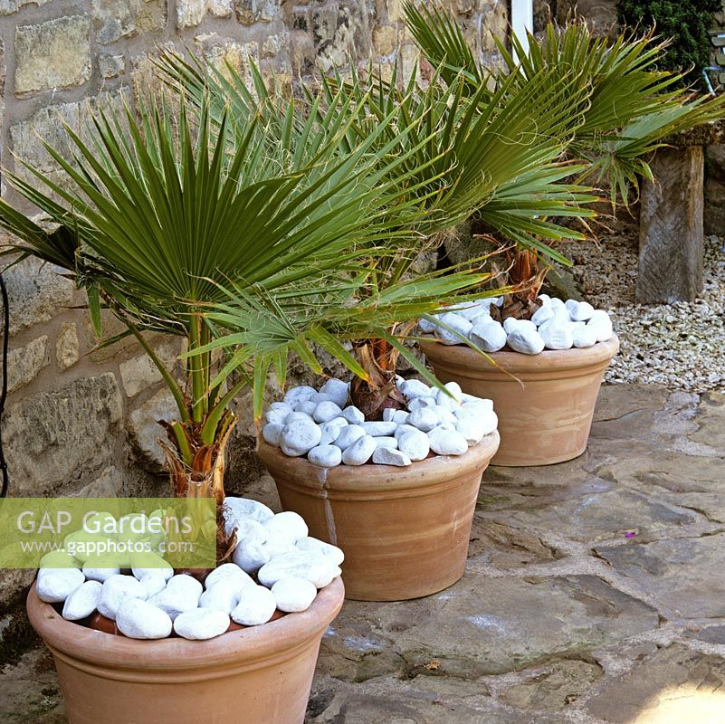 Trachycarpus fortunei - 3 identical terracotta pots filled with Chusan palm and topped with white pebbles cheer up a dull, shady house wall.