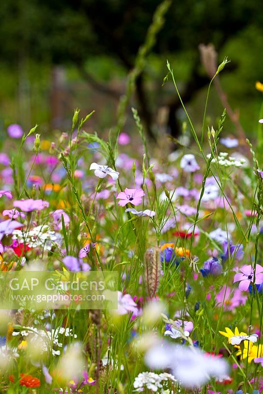 'Flower Power' annual meadow mix to help pollinators such as bees, hoverflies and butterflies. Blue flax, Catchfly, Dwarf morning glory, Sweet alyssum, Strawflower, Gypsophila, Red flax, Phacelia and Dimorphotheca sinuata