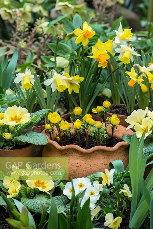 A spring display with Narcissus 'Jetfire' and 'Topolino', Primula vulgaris and Eranthis hyemalis in terracotta containers.