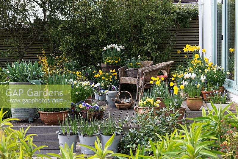 Wooden raised deck with spring containers of violas, primulas and daffodils