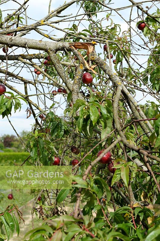 Prunus persica nucipersica  - Nectarine tree with split branch caused by heavy fruits and strong winds