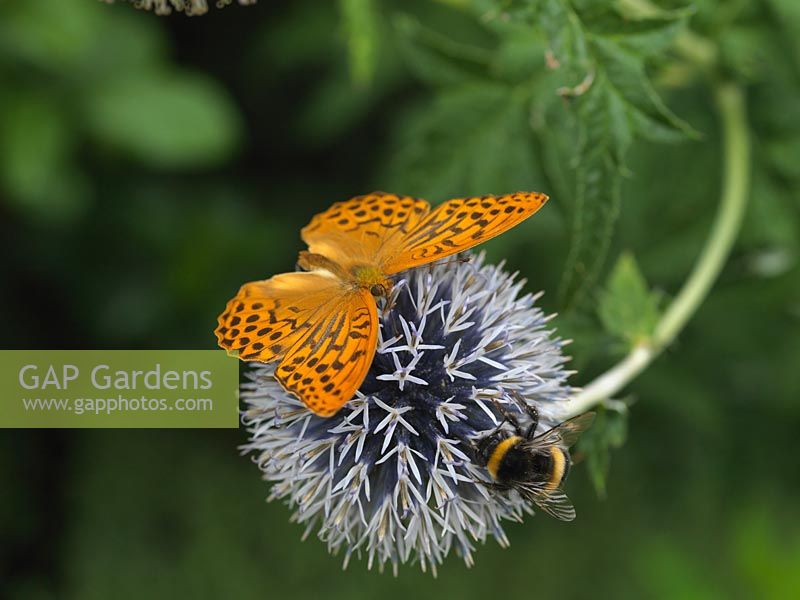 Silver-washed fritillary - Argynnis paphia lives in woods and hedged lanes. Here sharing a globe thistle - Echinops ritro with a bumble bee.