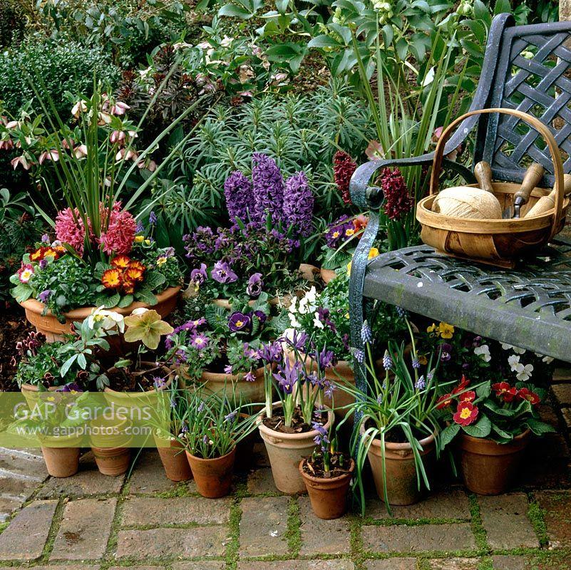 Gap gardens spring bulbs in pots hyacinths reticulata iris grape hyacinths scillas - Planting hyacinths pots ...