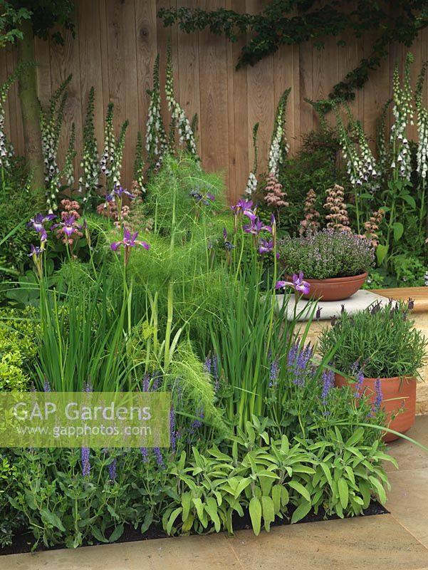 Herbaceous bed of Salvia x sylvestris Blauhugel, Iris sibirica Perry's Blue and fennel. RH: pots of lavender and thyme. Behind, white foxgloves and Rodgersia Irish Bronze.