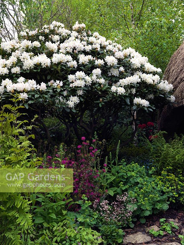 gap gardens rhododendron 39 cunningham 39 s white. Black Bedroom Furniture Sets. Home Design Ideas