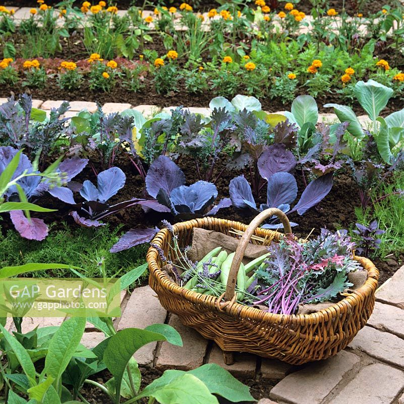 Basket of courgette, kale and lavender rests on brick path between rows of red and green cabbage, French marigold, chives, tomatoes and kale.