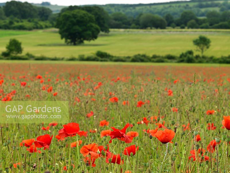 Meadow of corn field poppies - Papaver rhoeas, grown to harvest for wildflower seed mixes.