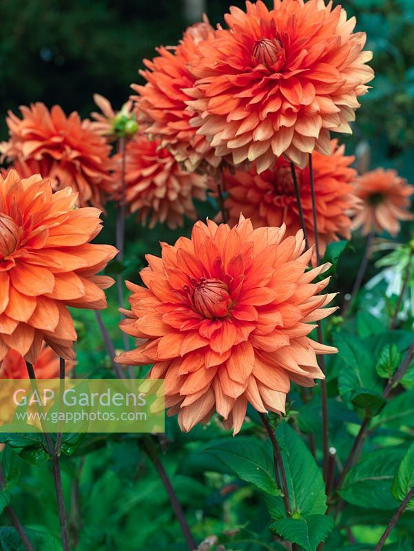 Dahlia Mrs Eileen A Dinnerplate With Large Orange Blooms From Late
