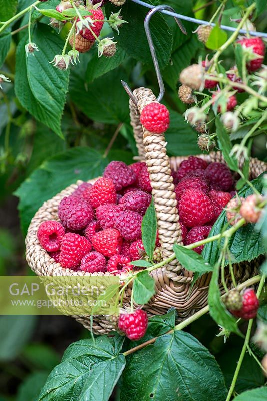 Suspended from a wire support, a basket of raspberries, picked from a mixed variety of canes.