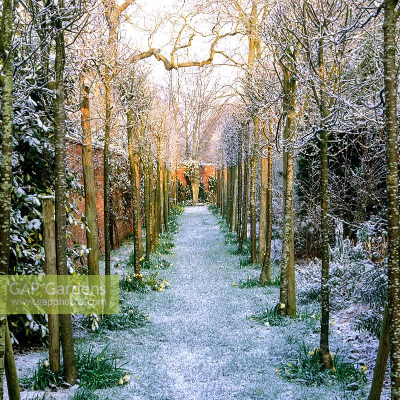 Avenue of whitebeam - Sorbus lutescens coated in snow.