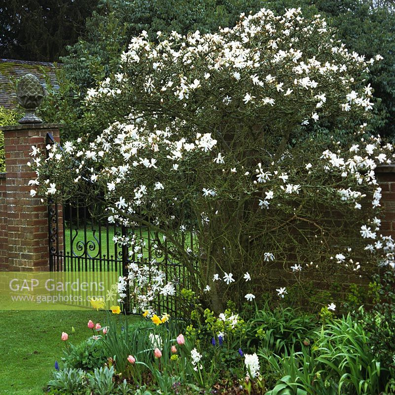 On spring morning, Magnolia stellata - Star magnolia beside brick pillar and wrought irons gates. Beneath, tulips, hellebores and grape hyacinths.