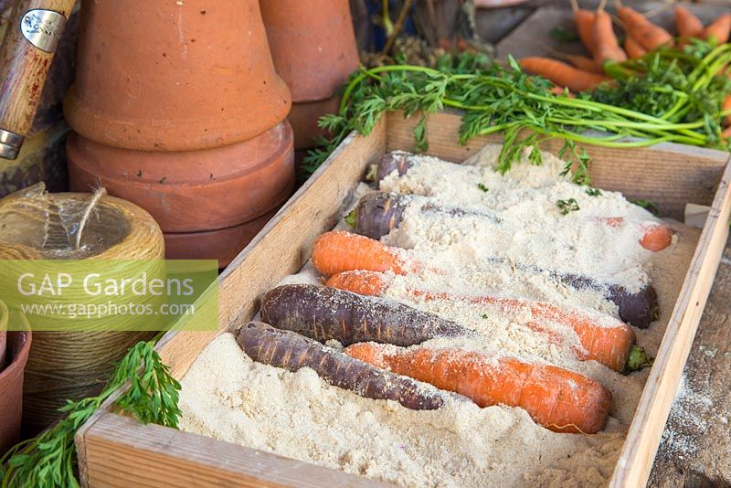 Storing Root Vegetables - Two different types of Carrots being stored in sand, within a wooden crate