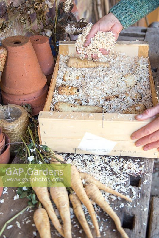 Storing Root Vegetables - Parsnips being covered in sawdust and stored in a wooden crate