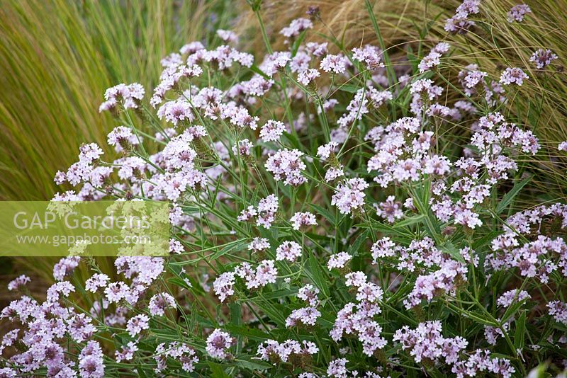 Verbena Rigida F Lilacina Polaris