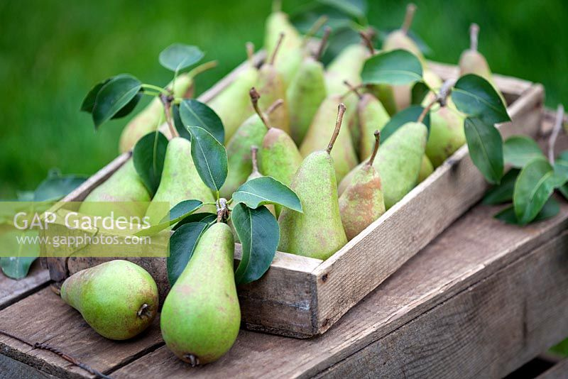 Pyrus communis 'conference' - Rustic wooden tray filled with pears. September.