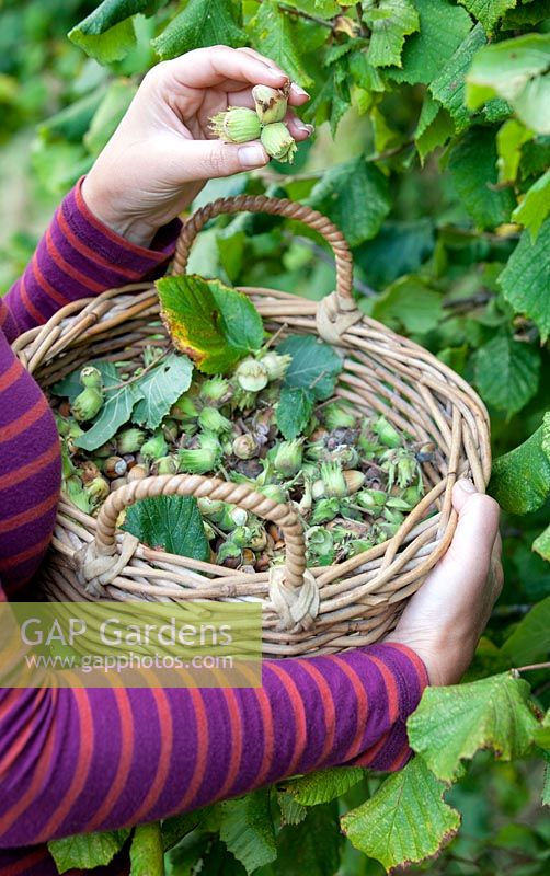 Woman holding a basket full of foraged hazlenuts in Autumn.