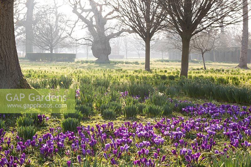 Purple crocus in The Meadow, Highgrove Garden, March 2014.