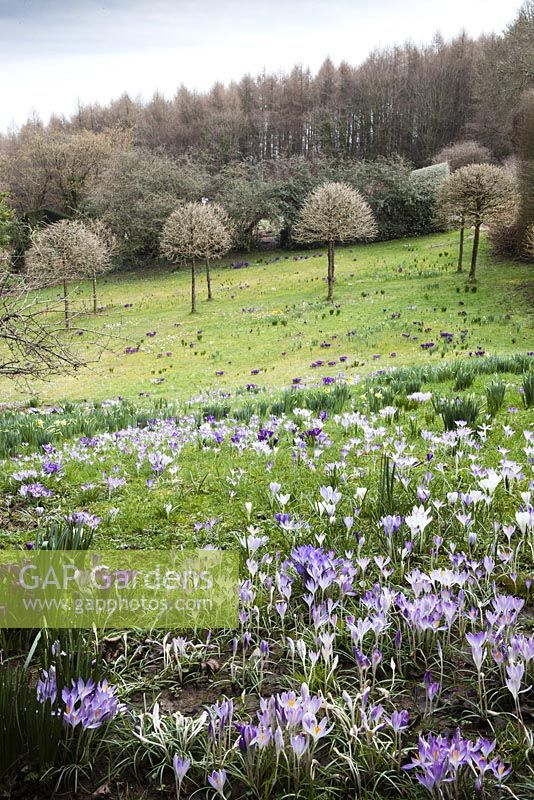 Spring bulbs in the meadow. Crocus tommasinianus in foreground. Emergeing foliage of narcissus. View to avenue of Corylus colurna. March 2014. Veddw House Garden, Monmouthshire, Wales.