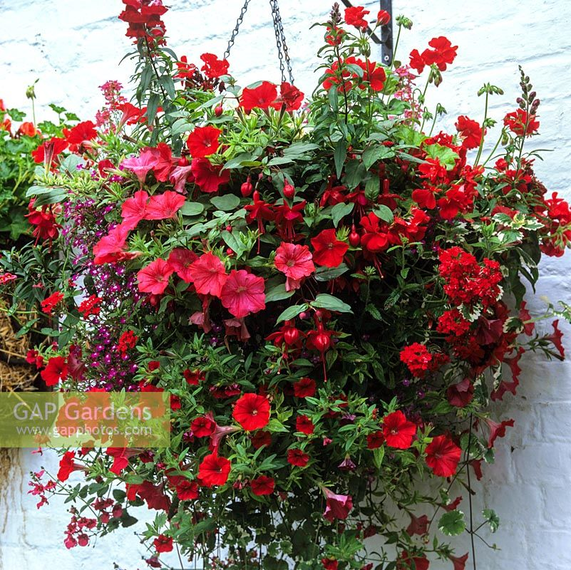 Red themed hanging basket of Petunia Surfinia Red, Verbena Tapien Red and Pelargoniums Reflections Red with Magic Scarlet.