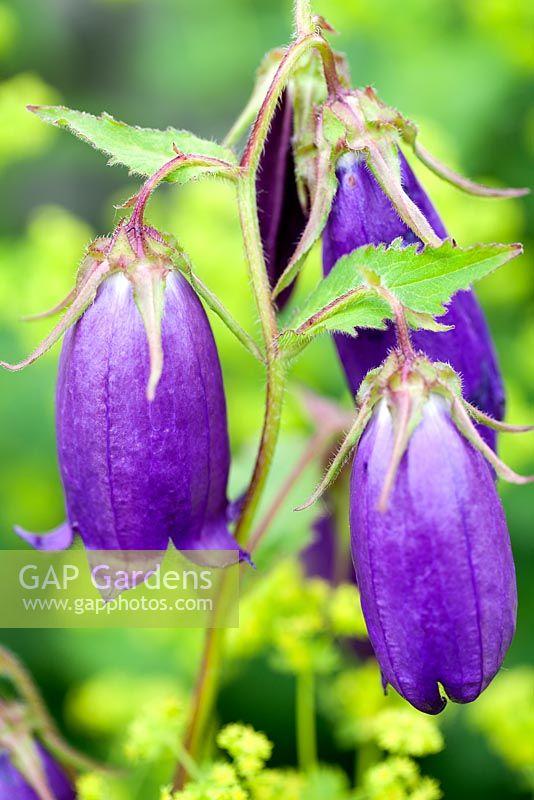 Gap gardens campanula sarastro bellflower perennial june plant campanula sarastro bellflower perennial june plant portrait of purple bell shaped flowers mightylinksfo Images