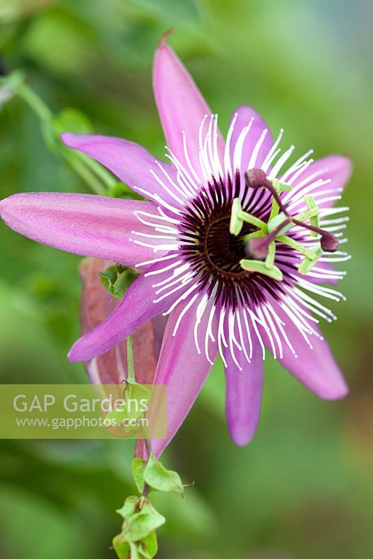 Passiflora x violacea 'Eynsford Gem', Passion flower. Shrub, September. Close up portrait of dusky purple and pink flower.
