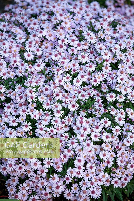 Gap gardens aster small ness frost flower perennial pale pink aster small ness frost flower perennial pale pink flowers mightylinksfo