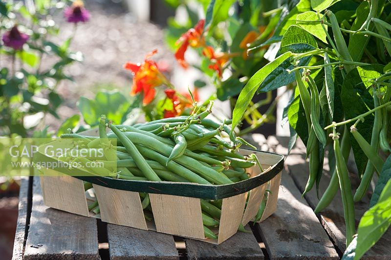 Basket of harvested beans - Phaseolus