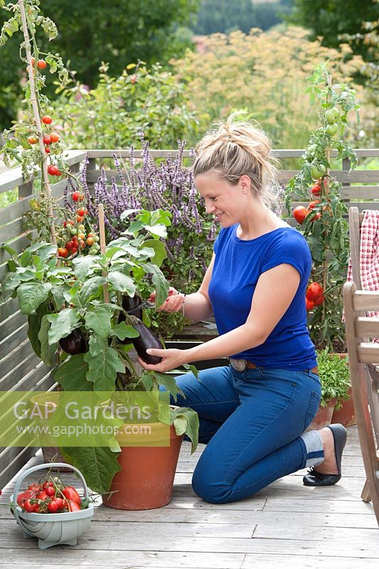 Woman harvesting Solanum melongena - aubergine on Mediterranean balcony with Lycopersicon - tomato and Ocimum kilimandscharicum x basil Purpurascens - bush basil 'African Blue'