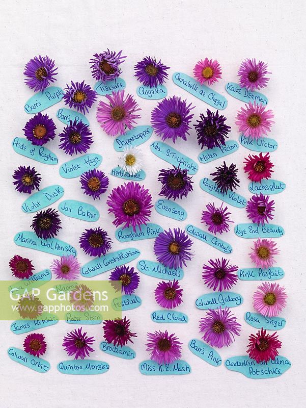 Gap Gardens National Plant Collection Of Autumn Flowering Asters