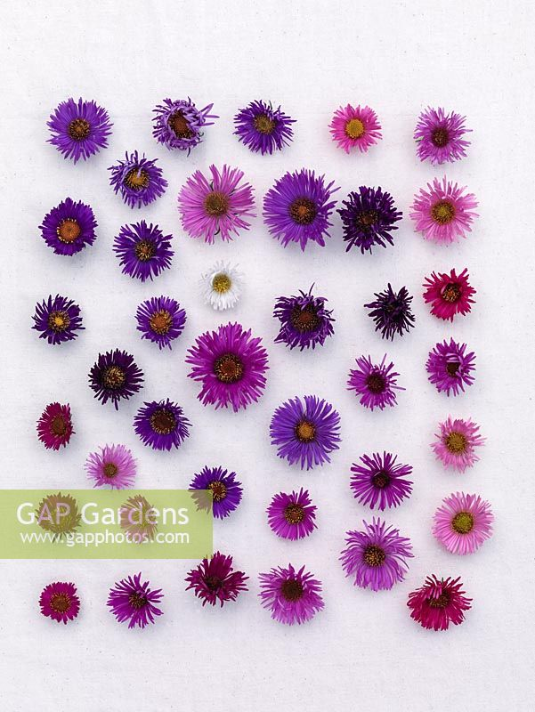 National Plant Collection of autumn flowering asters. Different flower heads arranged on linen to show the wide range of colours