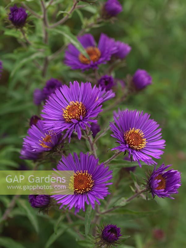 Aster novae-angliae 'Colwall Constellation', a tall herbaceous perennial bearing masses of purple, daisy-like flowers. National Plant Collection of autumn flowering asters.