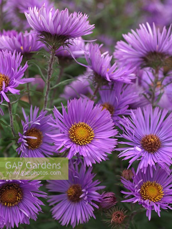 Aster novae-angliae 'Mrs S.T.Wright', a tall herbaceous perennial bearing masses of silvery purple, daisy-like flowers. National Plant Collection of autumn flowering asters.