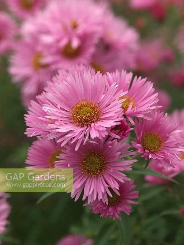 Aster Novae Angliae Rosa Sieger A Tall Herbaceous Perennial Bearing Mes Of