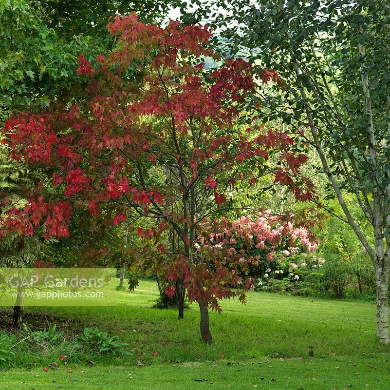 Acer palmatum Osakazuki, a Japanese maple with mid-green leaves which turn bright red in autumn.